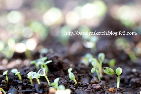 クローバー発芽1