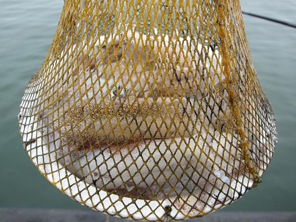 6月24日 八戸館鼻漁港の釣果