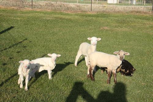羊の国のラブラドール絵日記シニア!!「シニアの印籠」写真1