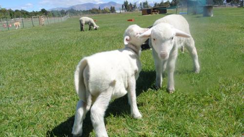 羊の国のラブラドール絵日記シニア!!「11年の研究結果」写真1