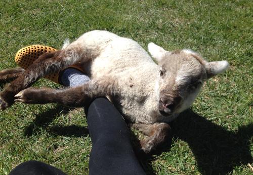 羊の国のラブラドール絵日記「断尾」2