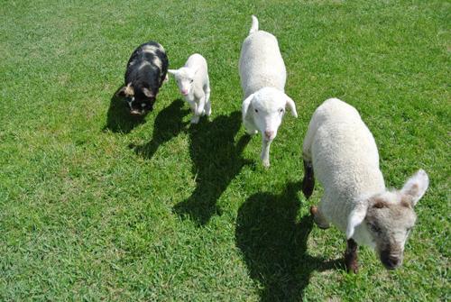 羊の国のラブラドール絵日記シニア!!「テオテオ7(セブン)」4