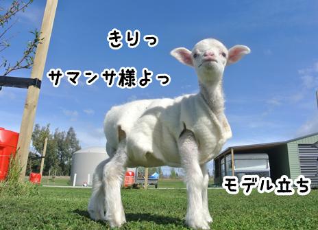 羊の国のラブラドール絵日記シニア!!写真2