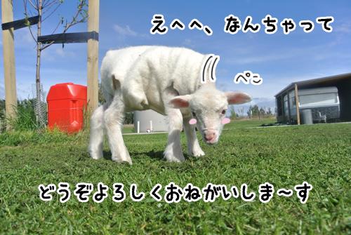 羊の国のラブラドール絵日記シニア!!写真3
