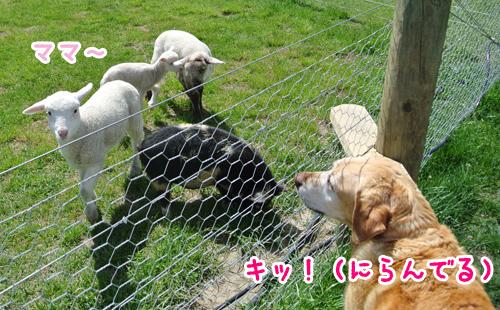 羊の国のラブラドール絵日記シニア!!写真6