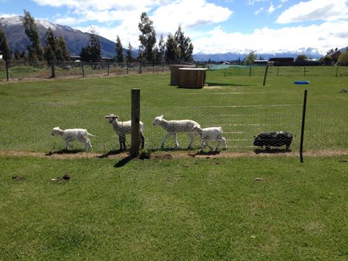 羊の国のラブラドール絵日記シニア!!「レイトショー」写真2