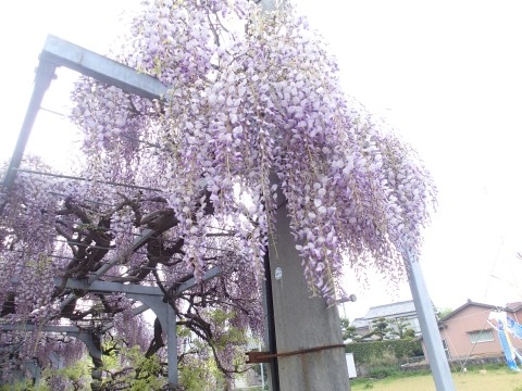 fujidana2.jpg