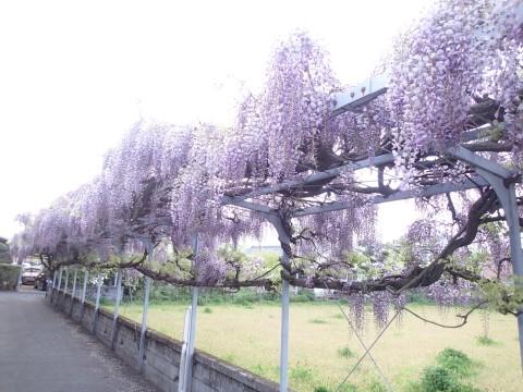 fujidana3.jpg
