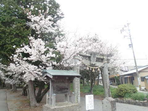 kawakamisakura2.jpg