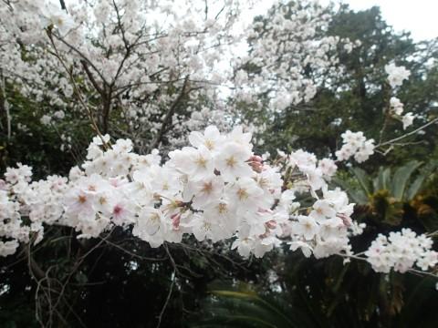 kawakamisakura5.jpg