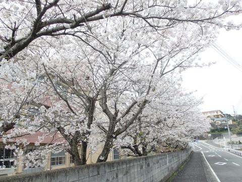 yuesyousakura3.jpg