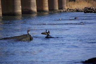 旧東海道:旧馬入川橋梁橋脚の上で休むカワウ