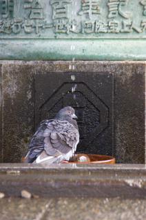 藤沢・遊行寺:水垢離?する鳩