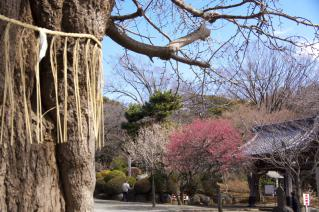 藤沢・遊行寺:大銀杏と紅梅・白梅