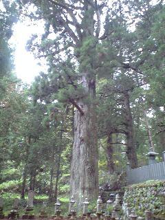 こうやさん46 一番古い杉