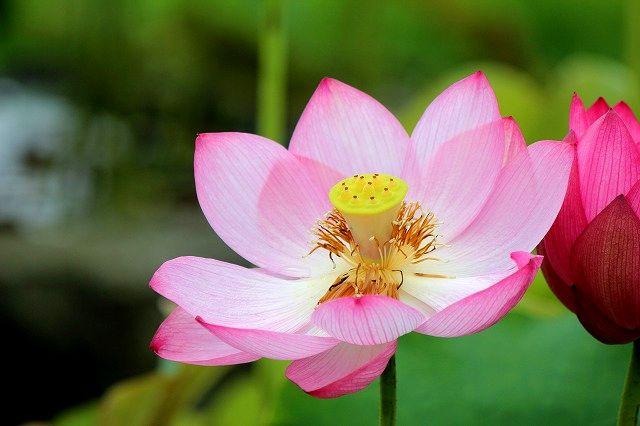 梅雨に咲く蓮の花