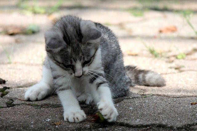 たまをとる子猫ちゃん