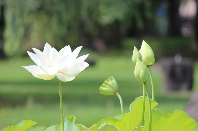 白い蓮はお好きですか?
