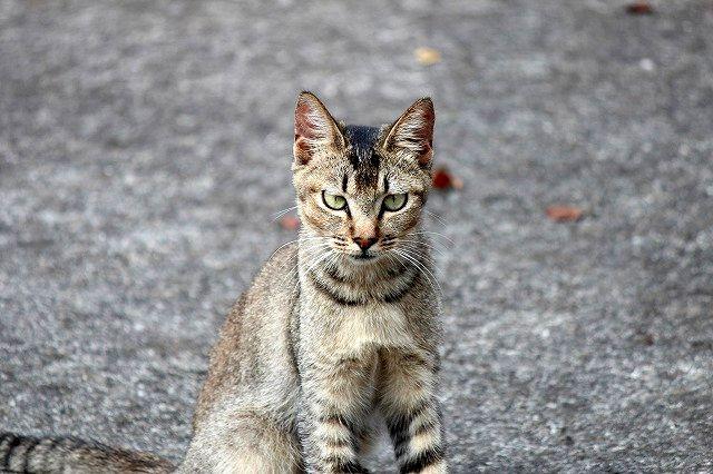 キジ猫ちゃん