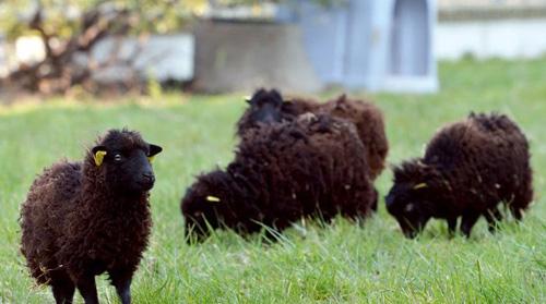 paris-sheep-lawn-mowers.jpg
