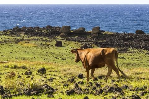 アカハンガ牛