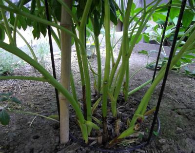 芍薬の根元 → 草ですね