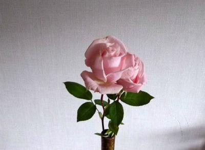 ロイヤルハイネス切花