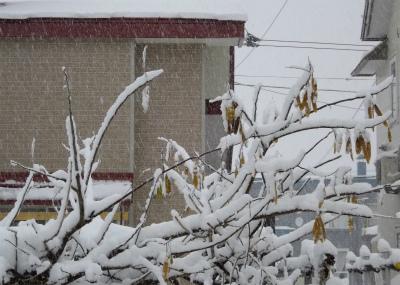フジの枝に着雪