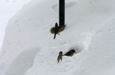 雪の中のスズメ