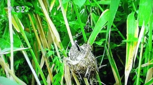 カッコウがオオヨシキリの巣を乗っ取り