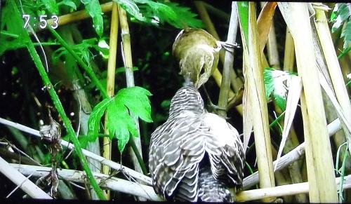 カッコウのヒナに餌をやるオオヨシキリ
