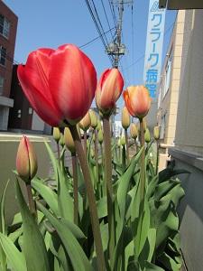 tulip0510.jpg