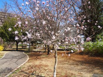近くの公園にさくらが咲きだしました。