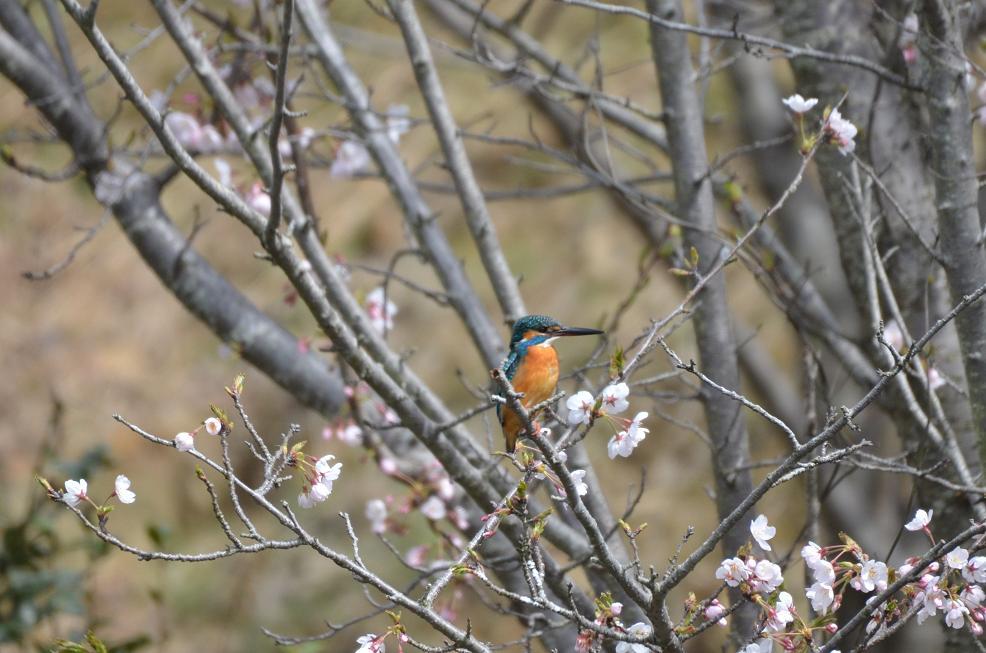 DSC_5469桜とカワセミトリミング