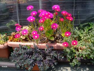 多肉植物寄せ植えのランプランタス(立性松葉菊の様な品)が満開です♪2013.05.14