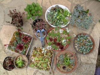 センペル、オロスタキス、ミセバヤ、セダムいろいろな品種で寄せ植え作成します♪~2013.05.20