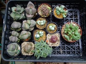 高度葉物メセンなど~プレイオスピロス、アルギロデルマ、ケイリドプシスなどなど~乾いたら水やりしています♪そろそろ乾かさないと梅雨前に乾かしたいです。2013.05.11