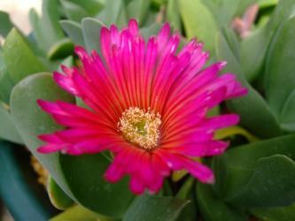 グロッチフィルム(Glottiphyllum sp.)濃いピンク花~1個しか咲きません(-.-)2013.04.23