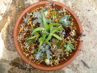 センペル、オロスタキス、ミセバヤ、セダムいろいろ~で平鉢に寄せ植え~2013.05.20