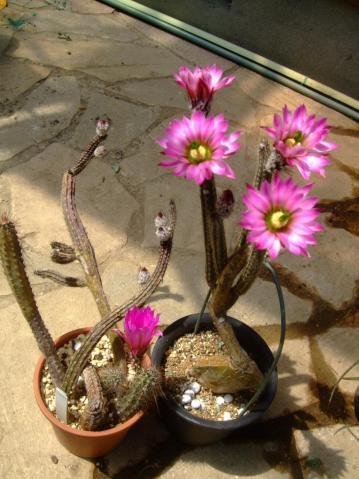 紐サボテン~銀紐(ぎんひも)(Wilcoxia poselgeri=Echinocereus poselgeri)満開中~♪2013.05.05