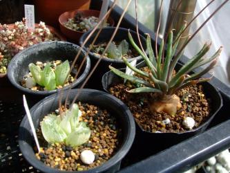 手前右:ブルビネ ハオルチオイデス(Bulbine haworthioides)、左と奥: ブルビネ アフ メセンブリアントイデス(Bulbine aff. mesembryanthoides)とブルビネ アフ メセンブリアントイデス(Bulbine mesembryanthoides)