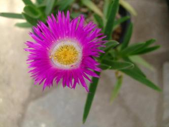 ナデシコ科 カルボプロツス属 エドゥリス(Carpobrotus edulis)~かわいく鮮やかに開花中~2013.04.23