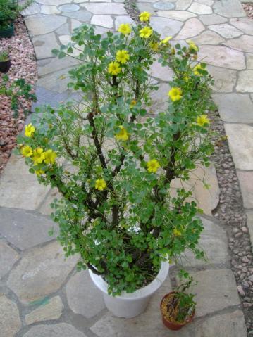オキザリス ギガンティア(Oxalidaceae Oxalis gigantea) たくさん開花中~♪右下の小鉢は挿し木苗~♪2013.05.15