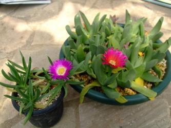 左:ナデシコ科 カルポプロツス属 エドゥリス(Carpobrotus edulis)、右:グロッチフィルム(Glottiphyllum sp.)濃いピンク花~2013.04.23