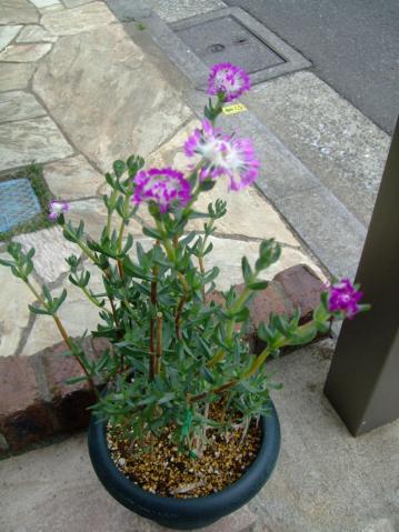 ケンシチア 千歳菊 (Kensitia pillansii) 直立性~面白い花開花中♪2013.05.16