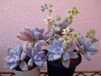 淡雪(あわゆき~)朧月(Graptopetalum paraguayensis)の改良種?開花~♪2013.05.12