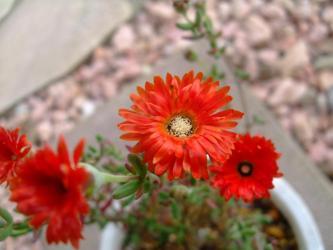 ドロサンセマム 花猩々(はなしょうじょう)Drosanthemum speeciosum ~挿し木株がビニールハウス内で一足先に咲きました♪2013.04.10