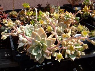グラプトペタルム サブコリンボサ(Graptopetalum? subcorymbosa)~開花♪~2013.05.12