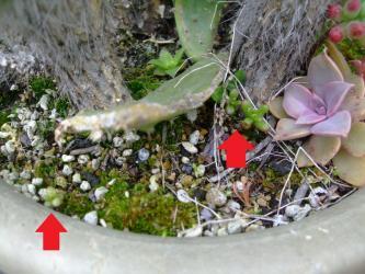 ♪1年草~セダム カウルレア(Sedum caeruleum)今年もなんとかこぼれ種が発芽しています♪2013.04.12