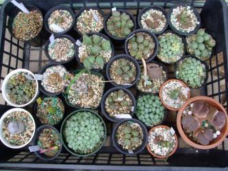 冬型成長型多肉植物~高度玉型メセン~コノフィツムなどなど~休眠して乾いた皮で覆われているのといないのがいます♪2013.05.19